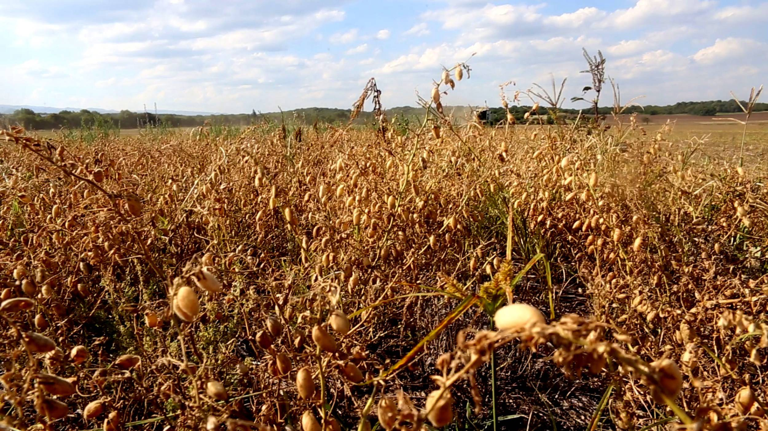 In the fertile north of Argentina, the conditions for growing chickpeas are ideal.