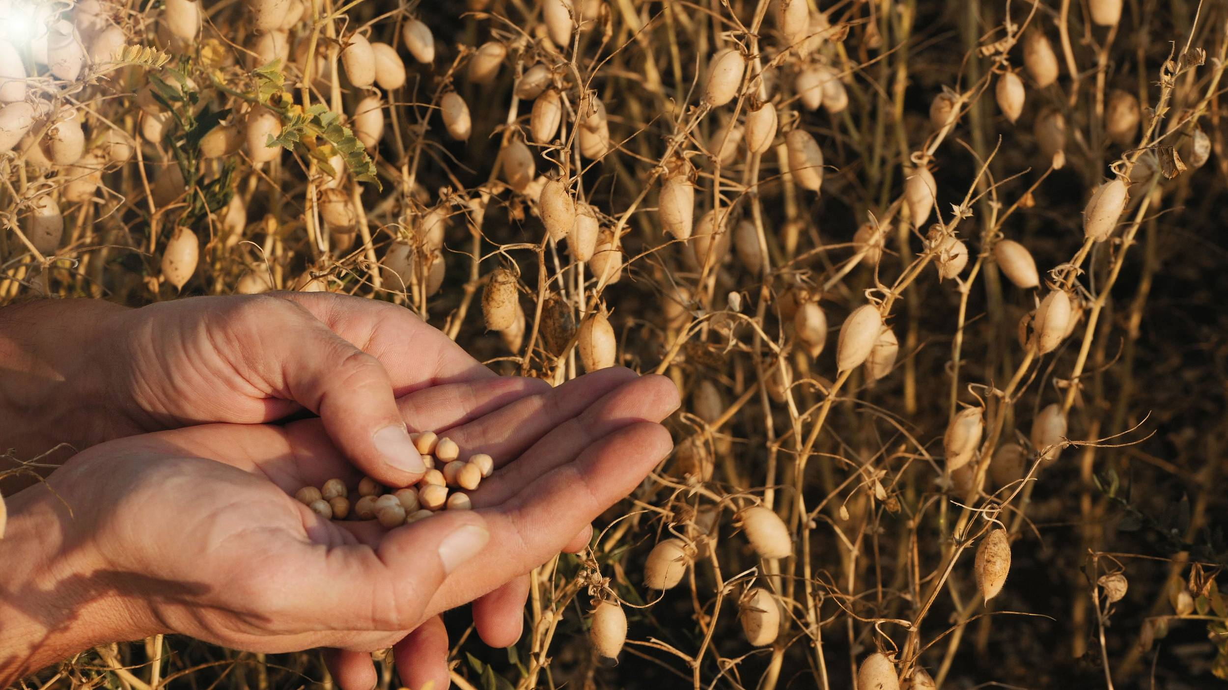 Cono has been growing high-quality chickpeas for many years and has a wealth of experience and technical know-how.