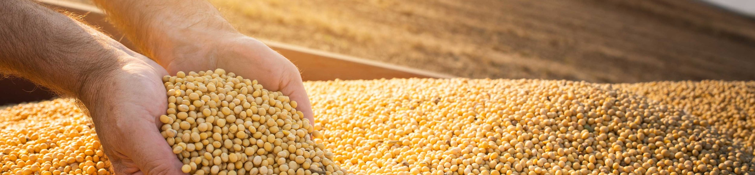 Globally important, the widely grown soybeans are rich in oil and protein.