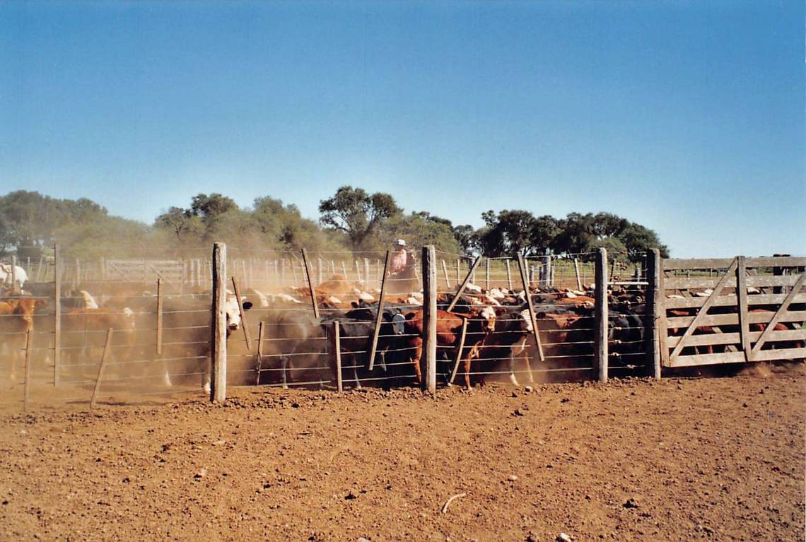 In 1980, Cono started grazing herds of cattle.